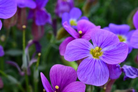 Purple flower close up, purple petals, yellow pestle and stamens