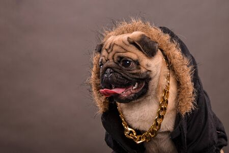 fur hood: Pug dog wearing black jacket with fur hood and big golden necklace, gangster look, portrait, studio shot, horizontal orientation