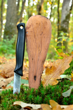 giant mushroom: Giant Club mushroom or Clavariadelphus pistillaris in natural habitat, compared to kitchen knife Stock Photo