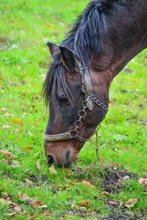 close uo: Young stallion on a green meadow, eating yellow corn, close uo view