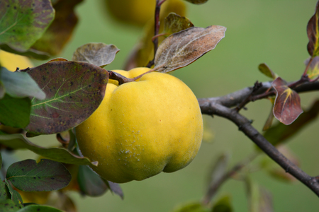 quinces: Ripe, healthy organic quince on branch with leaves in autumn colors, close up view