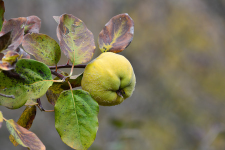 quinces: One ripe organic quince on twig with leaves in autumn colors