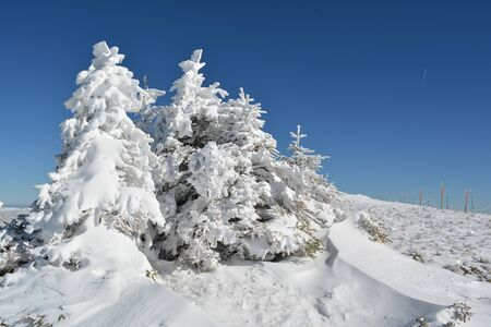 serbia xmas: Group of small fir trees covered by snow, snow drifts in foreground and row of pillars with safety rope in background on the top of mountain Kopaonik, Serbia Stock Photo