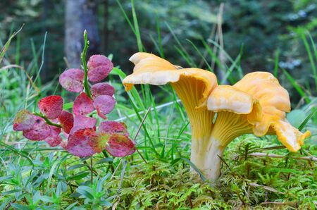 Cantharellus cibarius var.pallidus or Chanterelle in natural habitat, among green moss and grass, next to blueberry twig with red, autumn leaves, side view