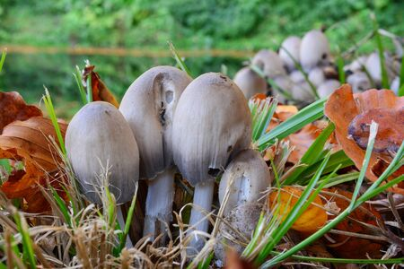 Clumps of Coprinus atramentarius or Common Inkcap, or Tipplers bane mushrooms  besides lake in autumn environment, delicious edible mushrooms, but conditionally toxic if consumed with alcohol