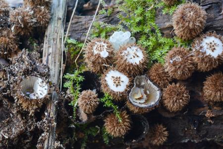 Unusual, inedible mushrooms, Cyathus striatus or Fluted Birds Nest mushroom in natural habitat, rotten wood near mountain spring Фото со стока