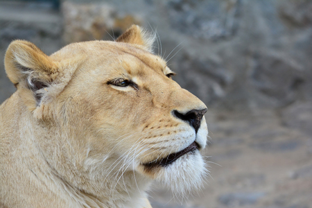 Young, healthy lioness just woke up and looking straight, portrait, profile against blured gray background Stock Photo