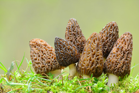Big group of six nice and healthy specimen of Black Morel or Morchella conica mushrooms in a moss against blured, green background with copy space