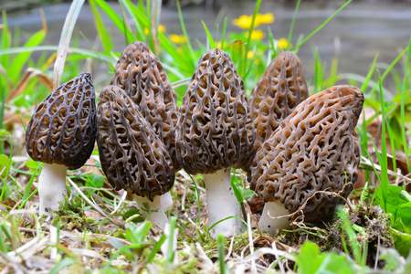 Large group of seven Black morel or Morchella conica, early spring wild mushrooms in natural habitat on the coast of a mountain stream