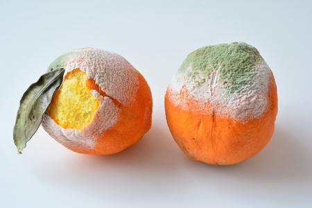 Dwie zgniłe pomarańcze, jedna z suchymi liśćmi, obie z uszkodzoną korą, pokryte biało-zieloną pleśnią, odizolowane na białym tle