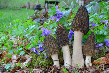 Four nice specimen of spring Morchella conica or Black Morel mushrooms growing in lush spring vegetation and Violet flowers, horizontal orientation with copy space