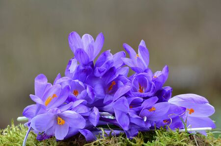 Heap of early spring Crocus or Saffron flowers on a green moss against grey bokeh, close up Standard-Bild