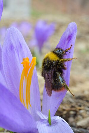 Early spring pollination, Crocus or Saffron flower and bumblebee covered by pollen, close up view