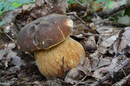 Young, healthy specimen of Boletus aereus or Dark cep, or Bronze bolete mushroom in natural habitat, close up view, horizontal orientation