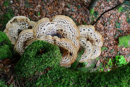 Polyporus squamosus or Pheasant's Back mushroom, or Dryad's Saddle mushroom and green moss on old beech tree, view from above