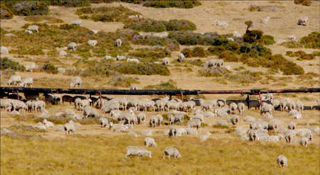 new year s day: Pipeline and sheep Santa Cruz Argentina Stock Photo