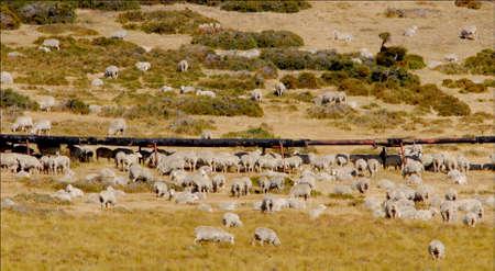 dai: Pipeline and sheep Santa Cruz Argentina Stock Photo
