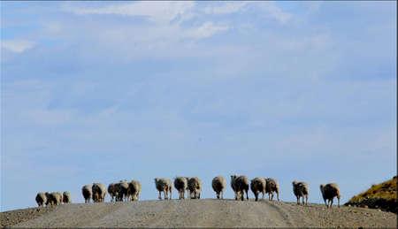 dai: Sheep Patagonia Santa Cruz Argentina
