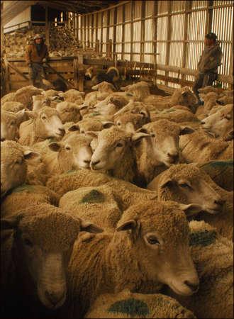 patagonia: patagonia sheep Stock Photo