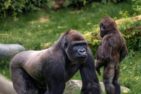 A big silverback gorilla explains his little step brother the facts of life. Stock fotó