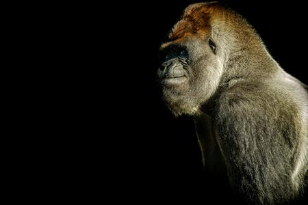 Big male silverback gorilla is thinking