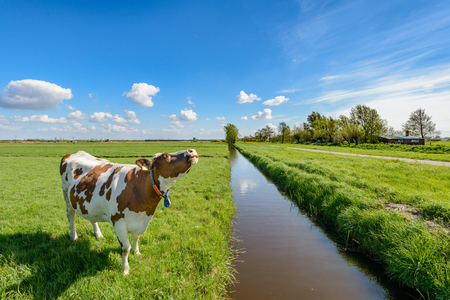 Cow next to a ditch in the polder near Rotterdam, Netherlands.