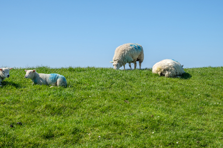 Sheep maintain short the grass on top of the dyke. A long strengthened and high dyke along the east coast of the island of Texel, the Netherlands. Stockfoto