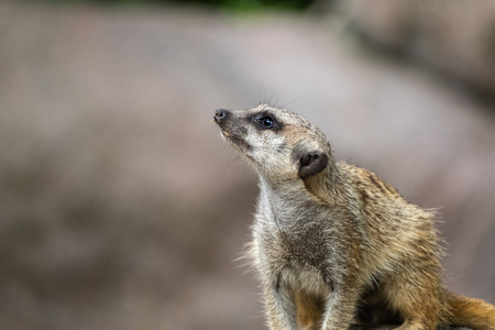 Meerkat looks up interested and expects food. Meerkats are regular guests in a zoo.