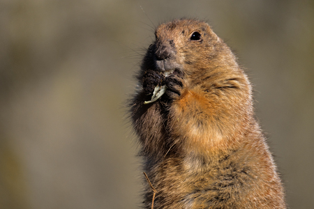 Prairie dog chews on a green leaf that he holds with his front paws and looks around him attentively.