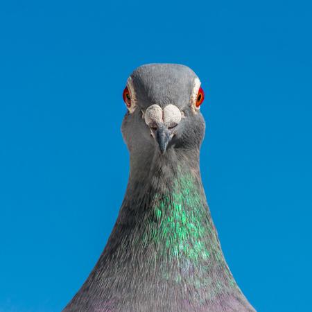 Una paloma mensajera posa frente a la lente de la cámara.