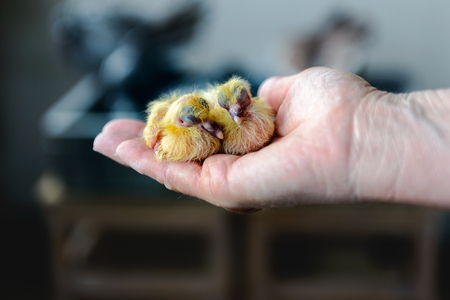 One day old twin baby racing pigeons fit in one hand Standard-Bild - 115733996