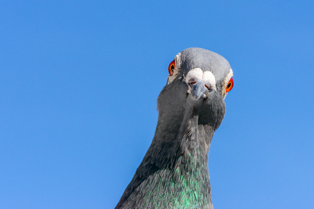Portrait of a racing or homing pigeon looking into the camera. Banco de Imagens