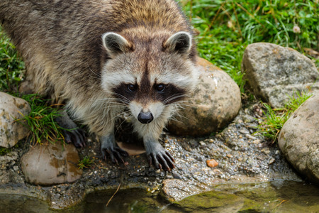 Raccoon is looking curiously at the edge of a stream. Reklamní fotografie