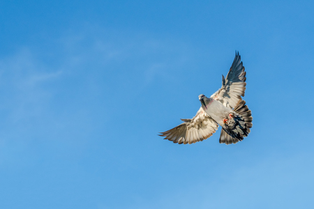 A carrier pigeon spreads its wings for landing on the roof wit a blue sky as background