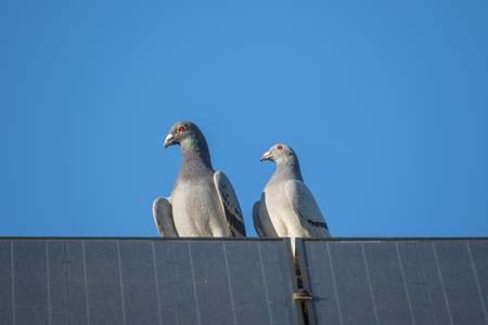 Two  pigeon lovers sitting on the edge of a solar panel on the top of the roof of a house and  a bright blue sky as background. Фото со стока