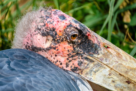 Very close portrait of an ugly marabou stork bird with a bald red head and a small tuft of tangled hair. The marabou stork  is a large wading bird. It is sometimes called the undertaker bird.