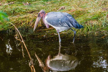 Large marabou stork bird looking for food in shallow water and sees its reflection in the water. The marabou stork  is a large wading bird. It is sometimes called the undertaker bird. Stock Photo