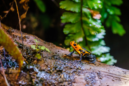 Poison dart frog, Ranitomeya imitator Jeberos is a species of poison dart frog found in the north-central region of eastern Peru.  Its common name include mimic poison frog and poison arrow frog,