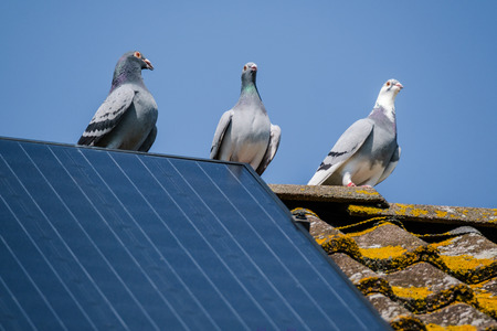 Three beautiful carrier pigeons flirt on the ridge of the roof with solar panels against a clear blue sky