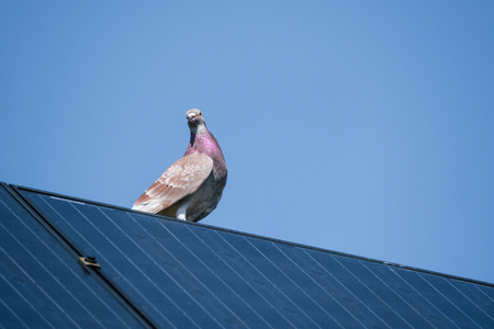 Beautiful carrier pigeon on the edge of a solar panel on the roof against a clear blue sky and bright sunlight