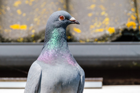 Portrait of a beautiful carrier pigeon looking at the surroundings in front of the roof of the pigeon loft