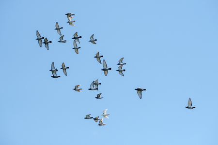 Large group of flying racing pigeons against a clear blue sky.