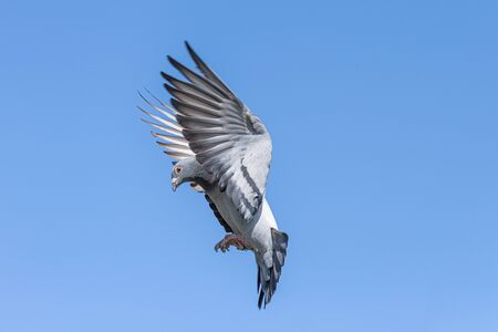 The landing of a racing pigeon with wings spread wide