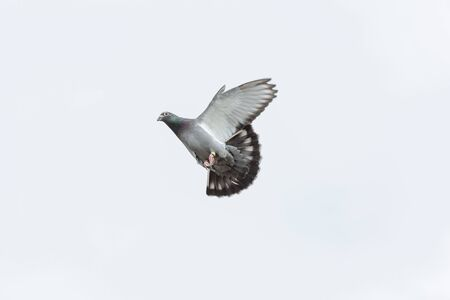 Racing pigeon starts his landing with a clear white sky as a background