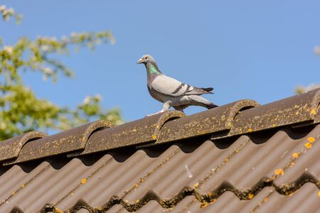 Beautiful racing pigeon rest on the top of the roof after the flight with a blue sky as background