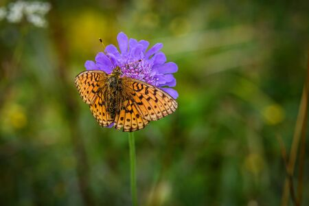 Lesser Marbled Fritillar butterfly or Brenthis ino feeding on a purple flower with a blurry green background captured in Switzerland