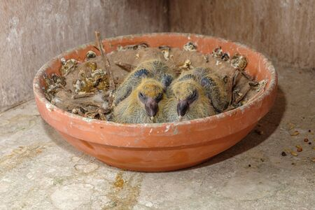 Closeup of two seven days old baby racing pigeons chicks sitting in the nest and sleeping Standard-Bild