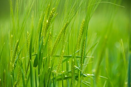 Close up of barley spikes natural illuminated by the sun