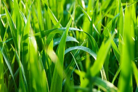 Natural grass illuminated by the sun after  the rain. Stock Photo
