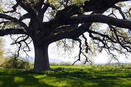 Secular tree  in a Tuscany field. Huge tree branches